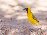 Southern Yellow Masked Weaver  Selective Focus on Eyes