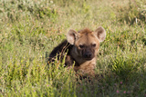 Young Spotted Hyena Hiding in the Grass