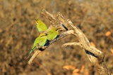 Bee-Eater  Swallow Tailed - African Wild Bird Background - Beautiful Colors