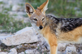 Close up of A Jackal