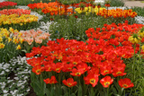 Ogres Full of Colorful Flowers  Tulips and Hyacinths Horizontal