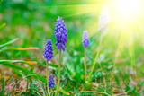 Bluebells Flower with Sunlight (Grape Hyacinth  Muscari Armeniacum)