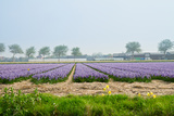 Dutch Spring Hyacinth Flowers Field