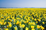 Field with Yellow Daffodils in April