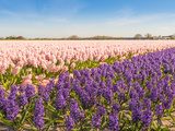Field with Pink and Purple Blooming Hyacinths