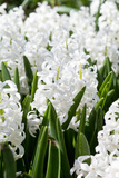 Field Full with White Hyacinths in Holland