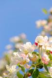 Apple Blossom on Blue Sky in Spring Garden 'Keukenhof'  Holland