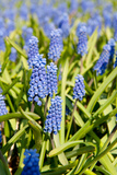 Fields with Blue Grape Hyacinths