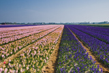 Pink and Purple Hyacinth Fields