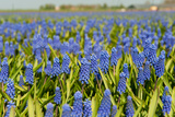 Landscape from Fields with Blue Grape Hyacinths