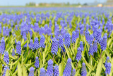A Field Filled with Blue Grape Hyacinths