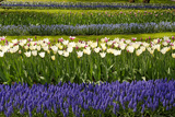 White Tulips with Blue Hyacinths in the Garden View from the Side