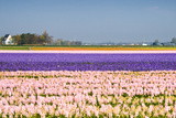 Hyacinth Fields in Purple and Pink