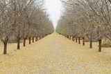 Rows of Pistachio Trees  San Joaquin Valley  near Bakersfield
