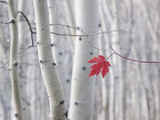 A Single Red Maple Leaf in Autumn  against a Background of Aspen Tree Trunks with Cream and White B