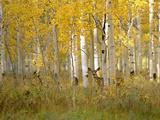 Autumn in Uinta National Forest. A Deer in the Aspen Trees. Papier Photo par Mint Images - David Schultz