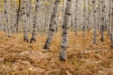 Usa  Utah  Aspen Forest in Autumn