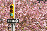 Traffic Signal Standing in Front of Cherry Blossom