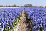 Dutch Landscape with Hyacinth Flowers