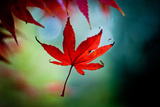 Red Maple Leaf Falls in Autumn