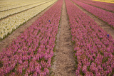 Pink and Yellow Hyacinth Fields in the Netherlands
