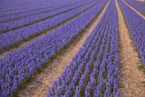 Blue Purple Hyacinth Fields  the Netherlands