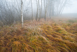 Foggy Moor Landscape with Birch Trees
