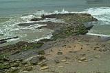 Pacfic Harbor Seals