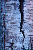 Abstract Birch Tree Bark Pattern in Winter
