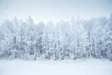Birch Trees in the Snow  Kiruna  Sweden