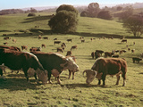 Cows Grazing on A Hillside