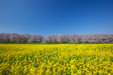 Cherry Trees and Rapeseed Field  Saitama Prefecture