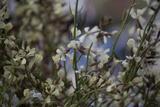 Wild Arugula Flowers