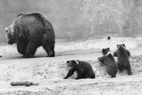 Kodiak Bear and Cubs