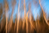 Birch Tree Trunks in Soft Evening Light