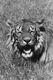Tiger Roars