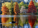 Black Swan in Autumn