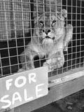 Lion for Sale