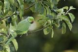 Male Rose-Ringed Parakeet (Psittacula Krameri) Perched in Tree  UK
