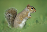 Close-Up of a Grey Squirrel (Sciurus Carolinensis) in Profile  the Species Was Introduced from Nort