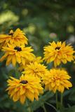 Black-Eyed Susan Flowers Blooming in Summer