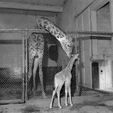 Calf Giraffe