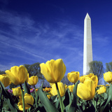 Tulips and the Washington Monument  Washington DC