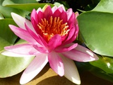 Pink Water Lily in Closeup