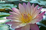 Purple Lotus Flower