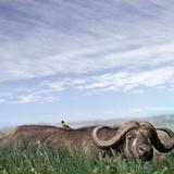 Buffalo (Syncerus Caffer) Migrating  the Serengeti
