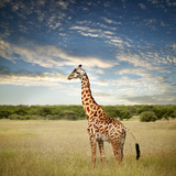 Giraffe at Serenget in National Park Tanzania