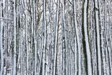 Dousland Plantation in the Snow  Dartmoor  England