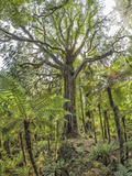 Giant Rimu Tree (Dacrydium Cupressinum)