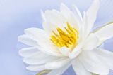White Lotus Flower or Water Lily Floating